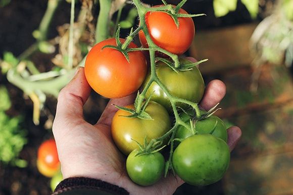 hand holding tomatoes on a vine in a garden