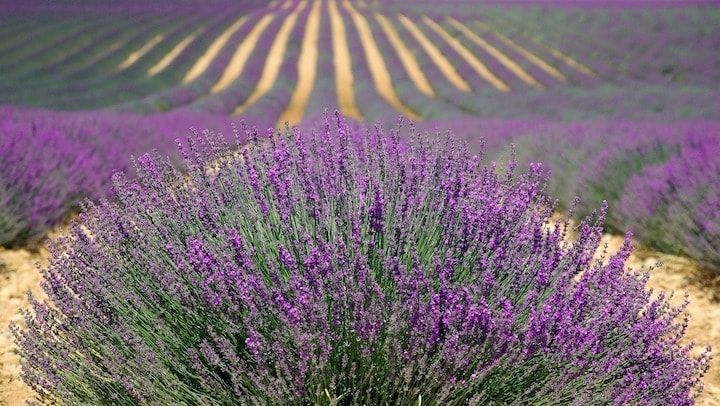 Field of lavender plants