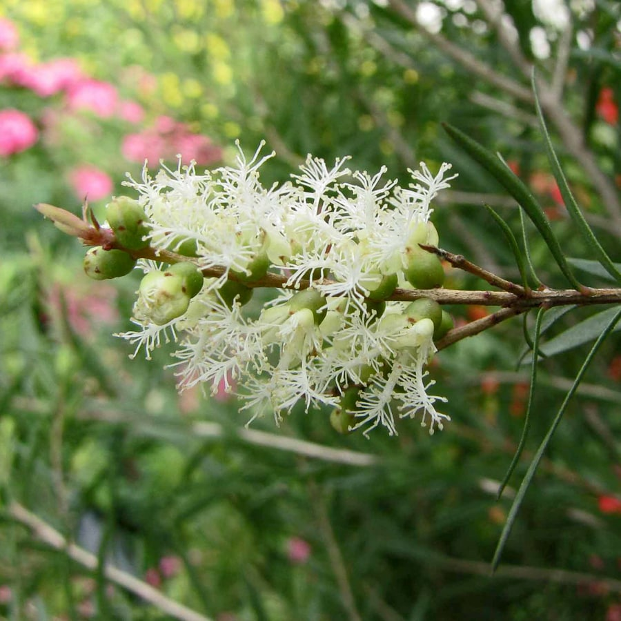 melaleuca flowering