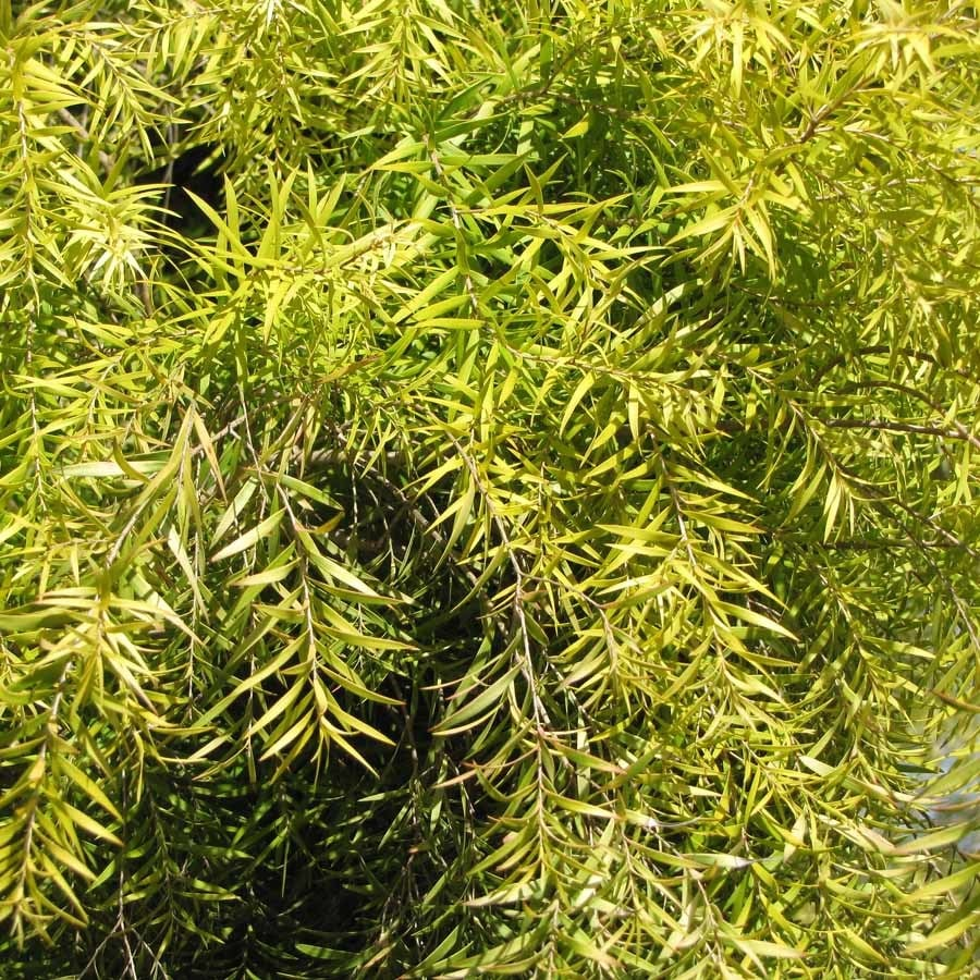 melaleuca tree leaves