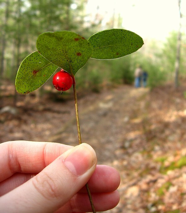 closeup of hand holding a sprig of wintergreen with berry