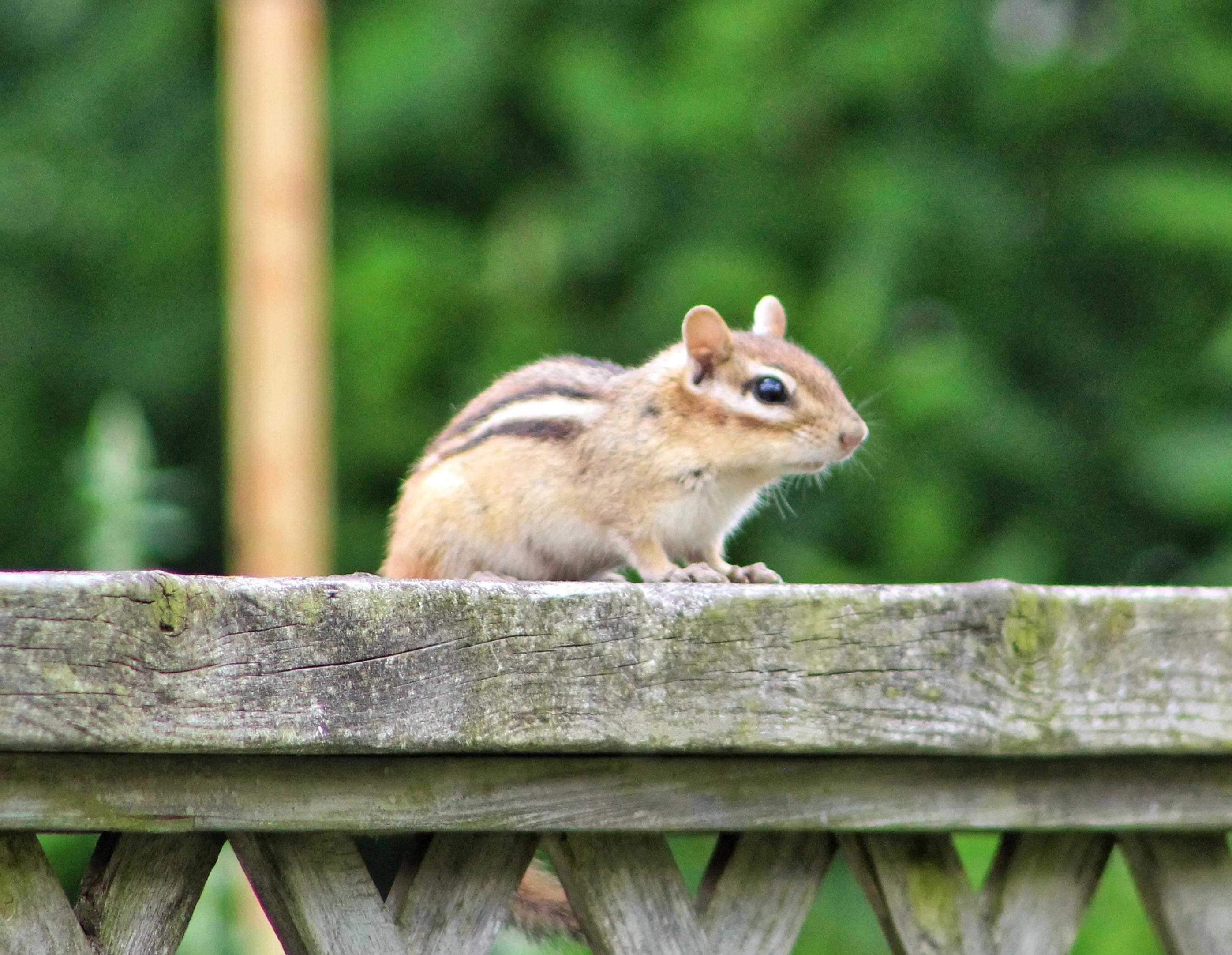 chipmunk on a backyard stone wall