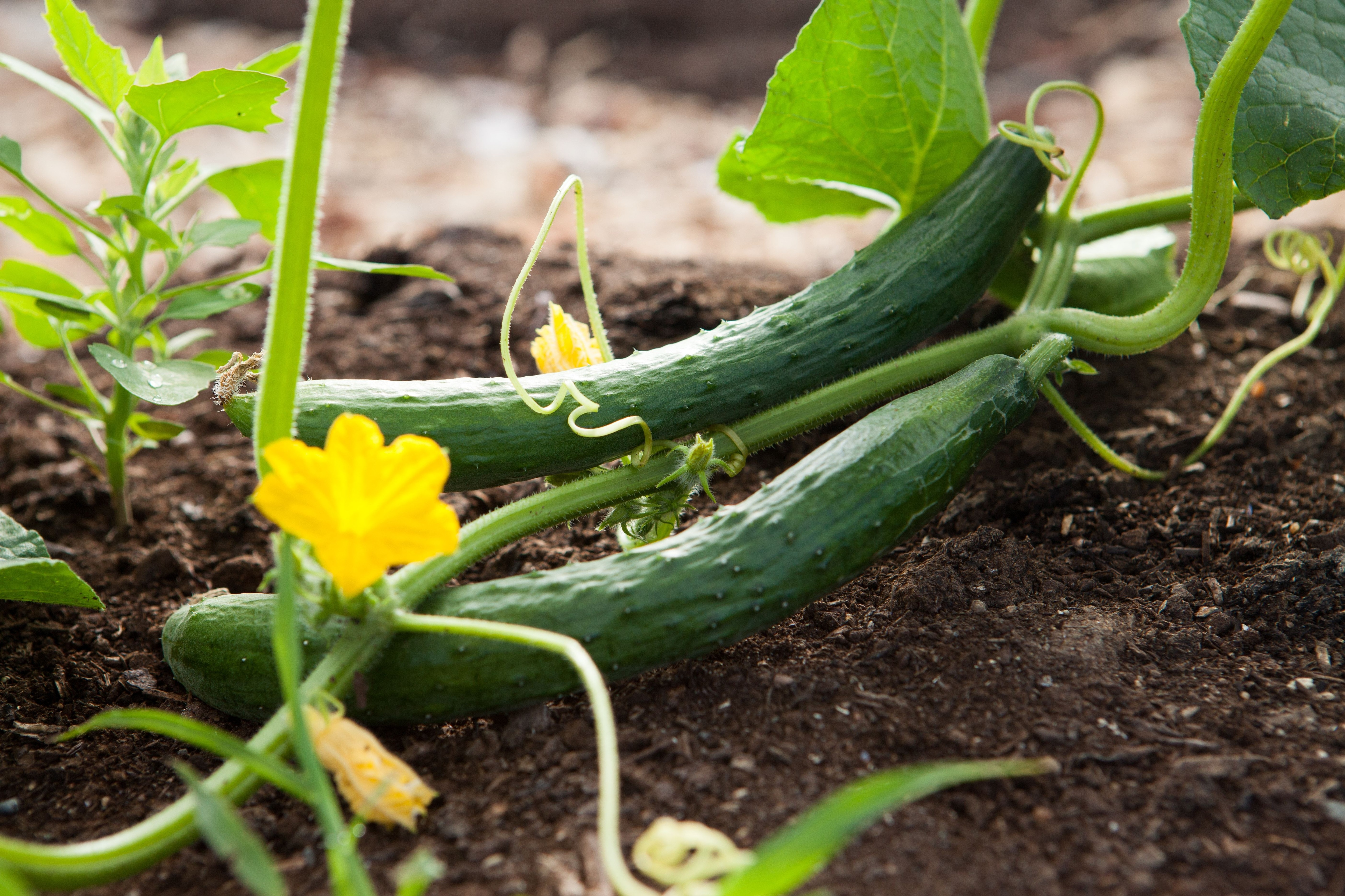 Cucumber in at-home vegetable garden