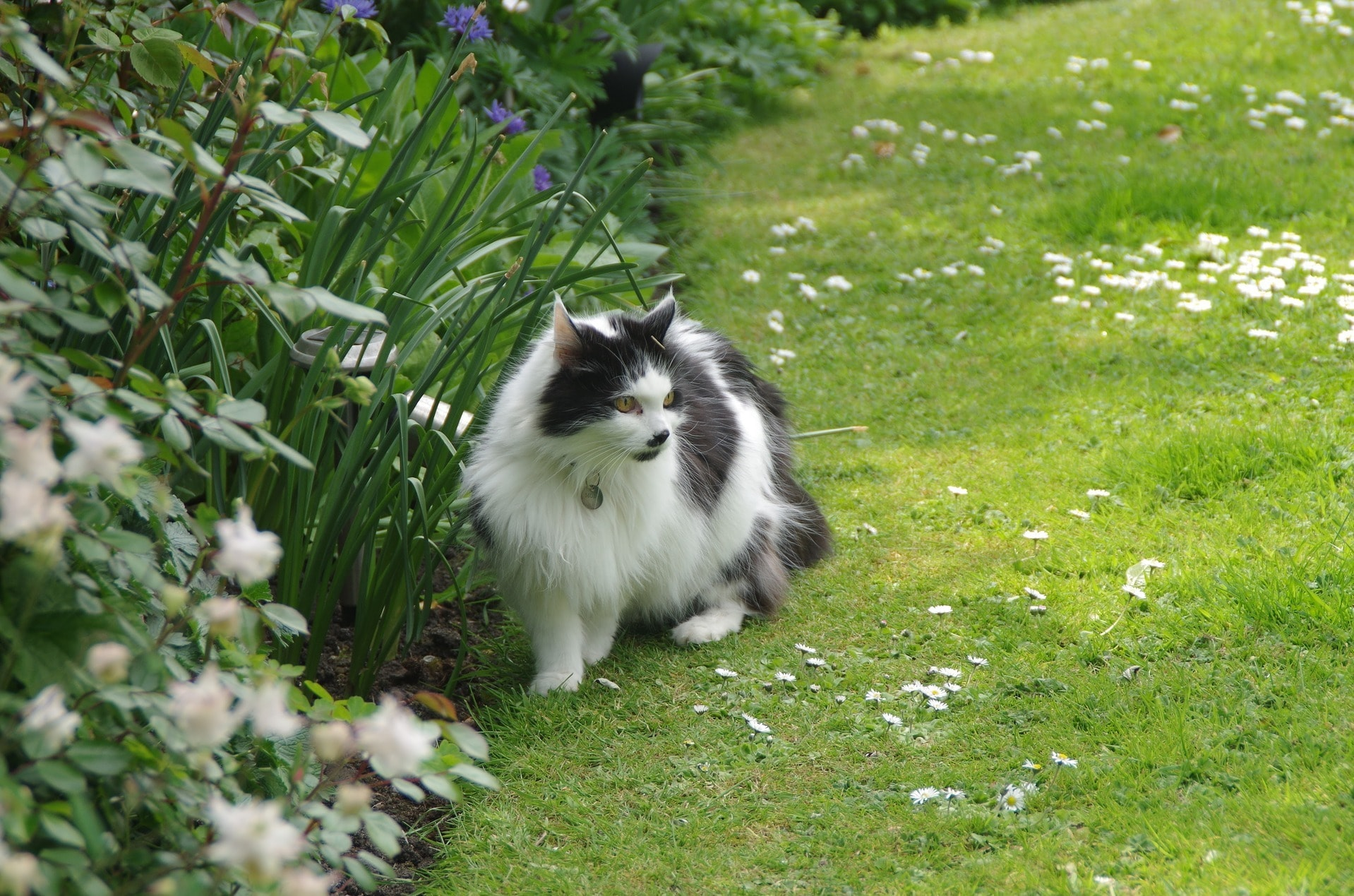 longhaired cat on green lawn by native plant garden