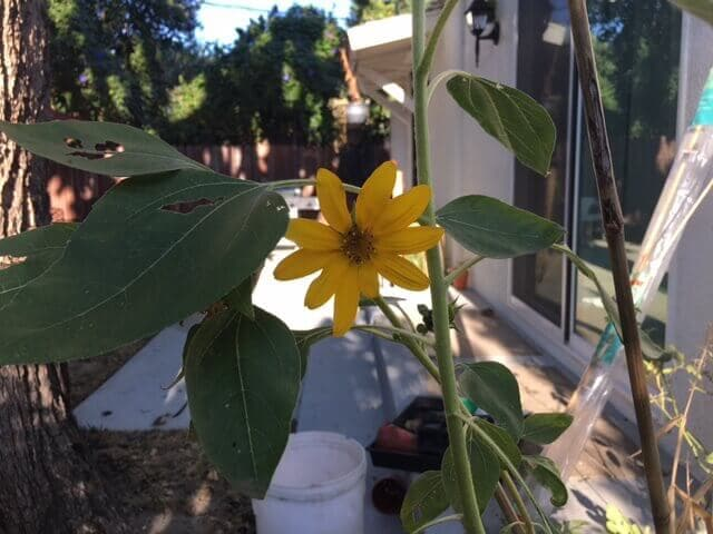 Sunflower blooming in a yard.